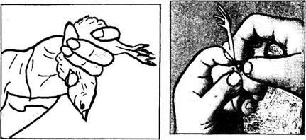 Правильное расположение пальцев при сексировании.