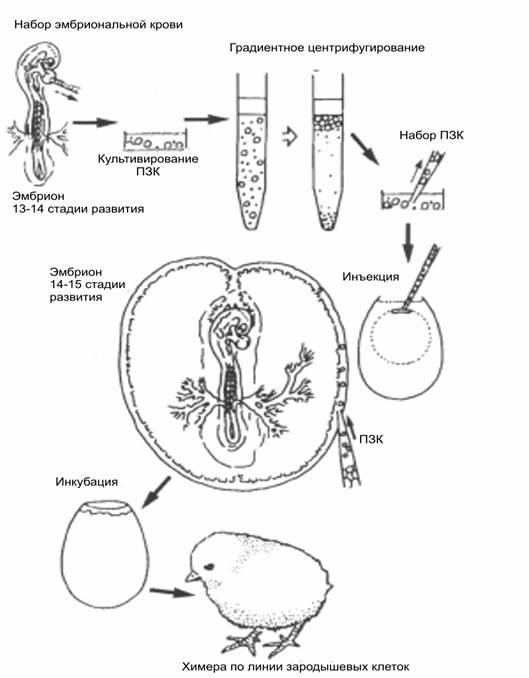 Клетка Зародышевая